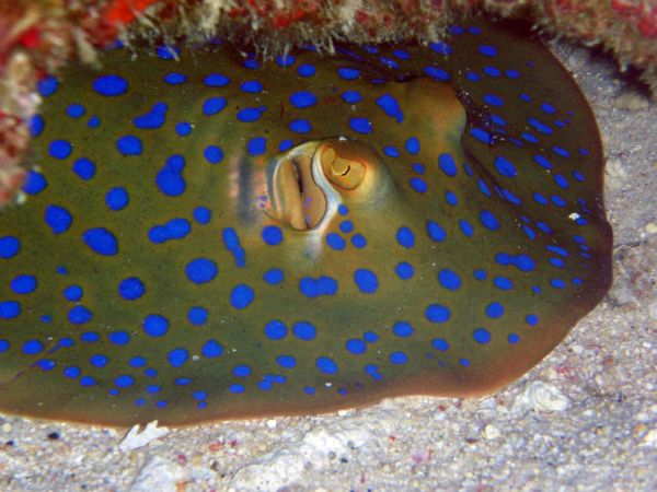 Bluespotted ribbontail ray-gili-indonesia
