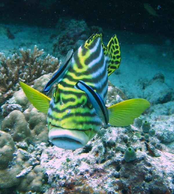 Maldives fish