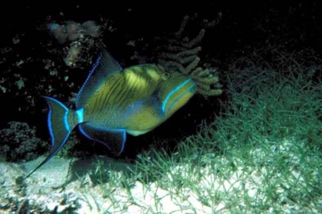 NightDivetriggerFish96[1]