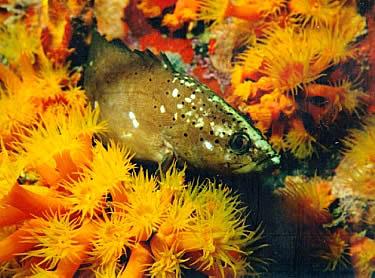SpottedSoapfish