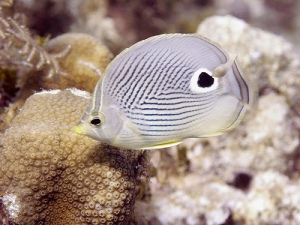 Four-eye Butterflyfish has a little eye in front a tiny little mouth is wide bodied and a big dot in the back by their tail.  Some believe the spot is to trick their preditor into thinking they 're swimming the other direction.