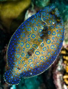 Peacock Flounder Fish is outlined in brilliant blue with brownish tan background and brite blue & turqouise polkadots on its back- both eyes are on its back however when it was born it swam verticle with one eye on each side- as fish matures the eye migrates to other side and fish then swims horizontally