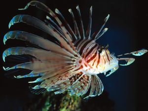 Lionfish are beautiful fish that appear to have long feathers sticking out all over their bodies - some species are beautiful in color some a all brown.