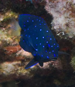 Yellowtail-Damselfish Deep blue color with spots of turquoise that sine like glitter and a bright yellow tail.